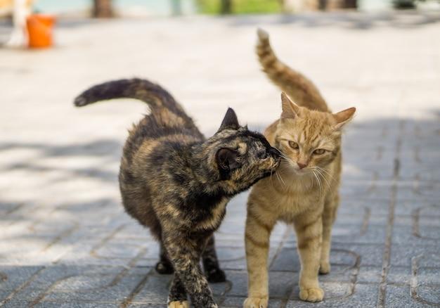 Dwa koty całowanie