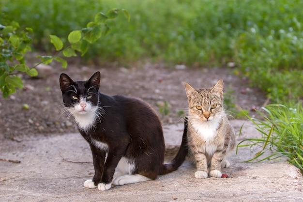 Dwa koty, czarno-szare, siedzą i patrzą w kamerę