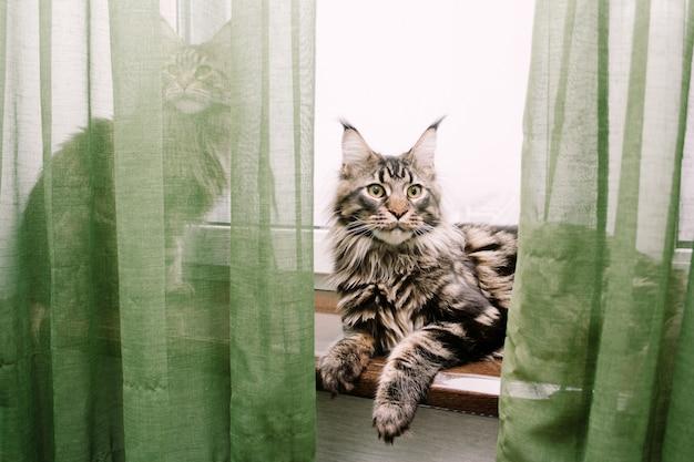 Dwa koty maine coon na parapecie, jeden z kotów schował się za zasłoną