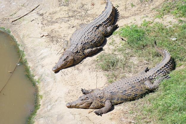 Dwa krokodyle leżą na podłodze farmy.
