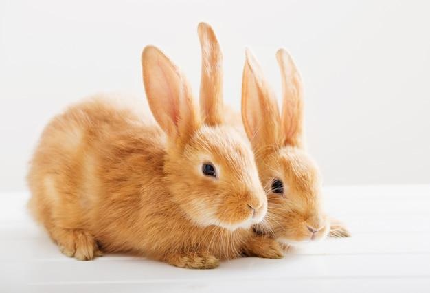 Dwa króliki na białym tle