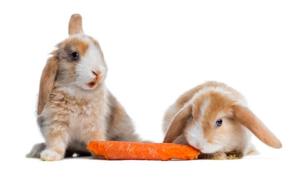 Dwa króliki satin mini lop jedzenie marchewki, na białym tle