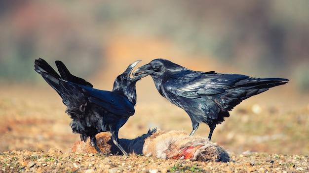 Dwa kruki (corvus corax) siedzą na zdobyczy.