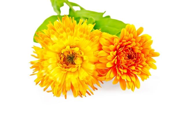 Dwa kwiaty nagietka frotte żółty i pomarańczowy z zielonymi liśćmi na białym tle