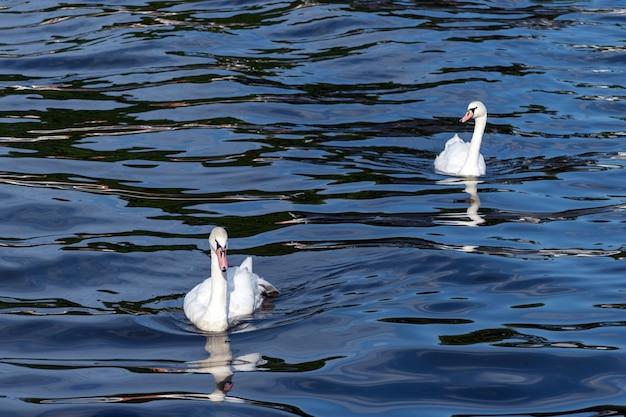 Dwa łabędzie na pełnym morzu. symbol miłości. piękna para. niebiesko-zielona słona woda.