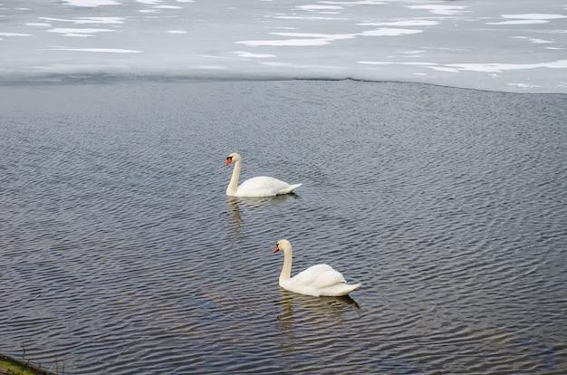 Dwa łabędzie na rzece w pobliżu lodu