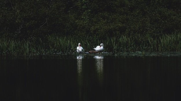 Dwa łabędzie nad jeziorem