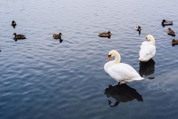 Dwa łabędzie stoją w wodzie, a kaczki pływają na tle, kopiuj przestrzeń po lewej stronie.