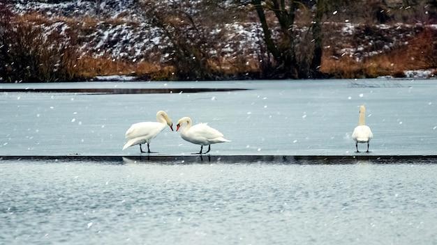 Dwa łabędzie zimą na lodzie rzeki, drugi łabędź na bok