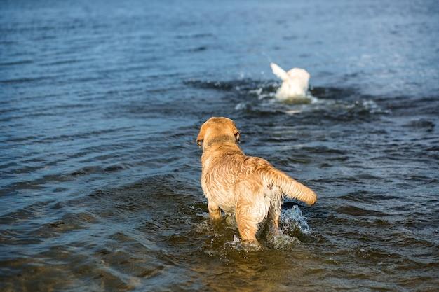 Dwa labradory na plaży?