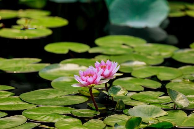 Dwa ładne różowe kwiaty lilii w wodzie