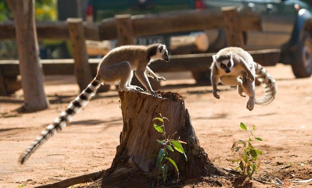 Dwa lemury katta bawią się ze sobą