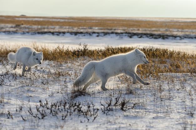 Dwa lisy polarne (vulpes lagopus) w dzikiej tundrze. lis polarny na plaży.