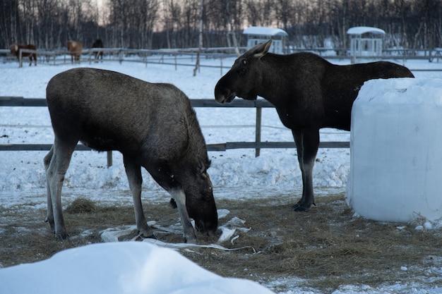 Dwa łosie jedzące siano na północy szwecji