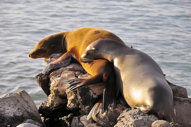 Dwa lwy morskie spanie na skale w słońcu