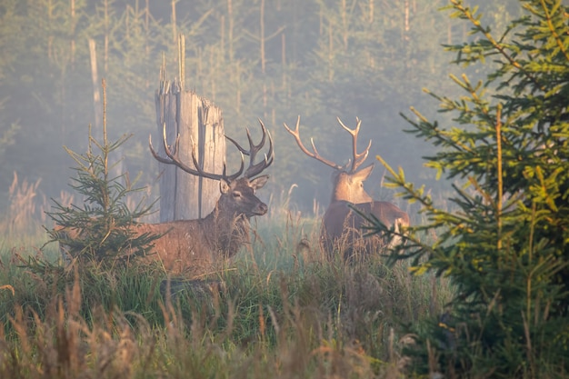 Dwa majestatyczne jelenie czerwone stojące we mgle rano.
