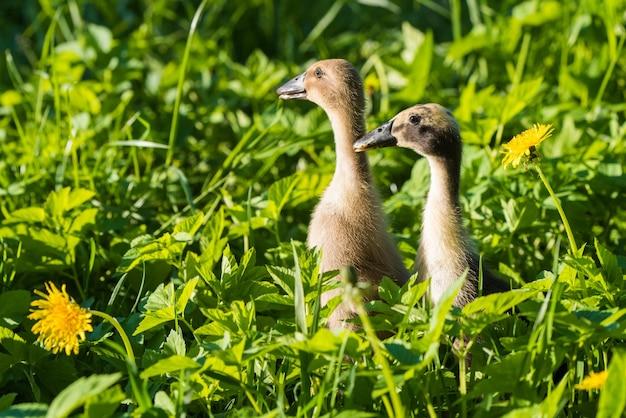 Dwa małe domowe szare kaczątko siedzi w zielonej trawie.