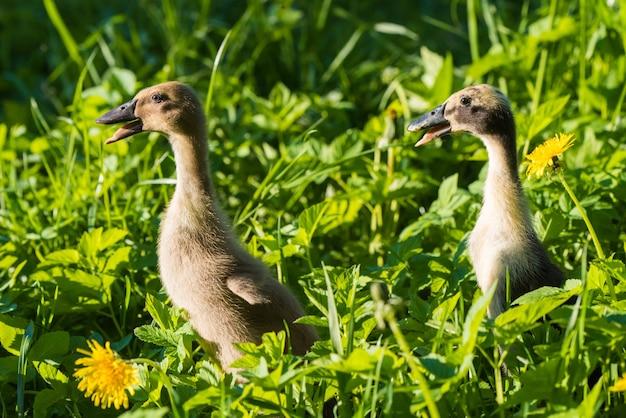Dwa małe domowe szare kaczątko w zielonej trawie.