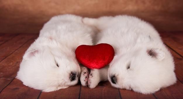 Dwa małe jednomiesięczne śliczne białe szczenięta samoyeda z czerwonym sercem