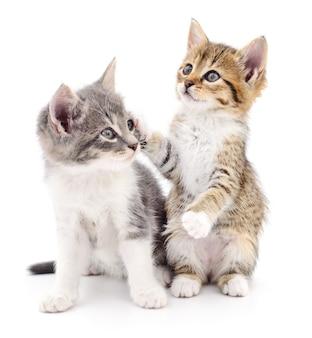 Dwa małe kocięta na białym tle