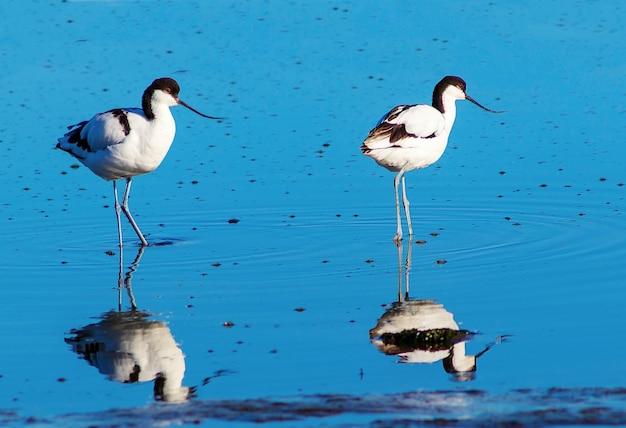 Dwa małe ptaszki w błękitnym jeziorze w słoneczny dzień. namibia