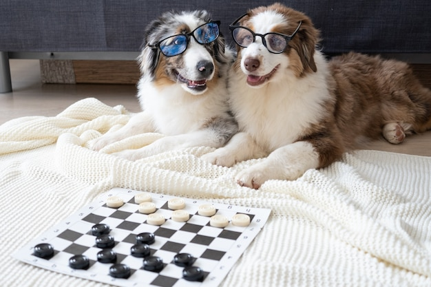Dwa małe słodkie owczarek australijski czerwony trzy kolory niebieski merle trzy kolory szczeniak w okularach grać w warcaby. koncepcja edukacji.