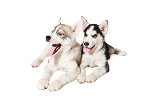 Dwa małe słodkie szczeniak husky syberyjski z niebieskimi oczami na białym tle. piękne szczenięta