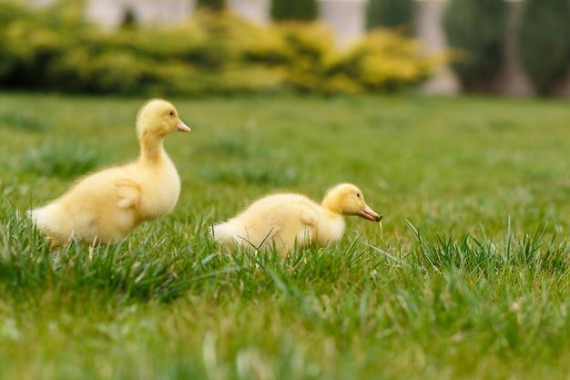 Dwa małe żółte kaczątko na zielonej trawie.