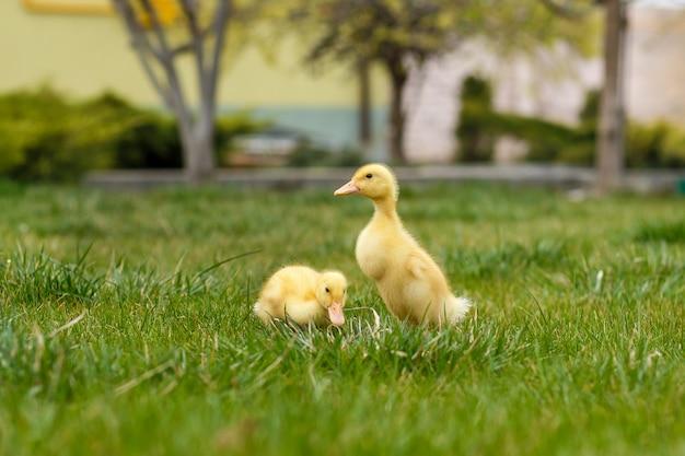 Dwa małe żółte kaczuszki na zielonej trawie,