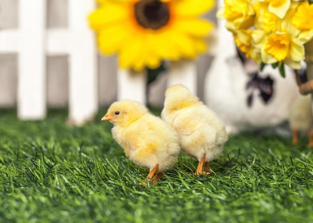 Dwa mały żółty pisklę spaceru na trawniku.