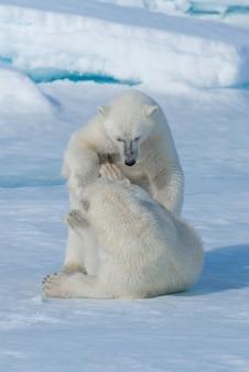 Dwa młode dzikie młode niedźwiadki polarne bawiące się na lodach jucznych na morzu arktycznym, na północ od svalbardu