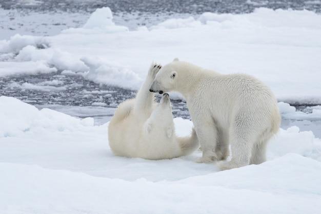 Dwa młode dzikie niedźwiedzie polarne bawiące się na lodach jucznych na morzu arktycznym