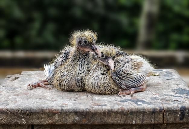 Dwa młode gołębie siedzące na drewnianym stole z bliska