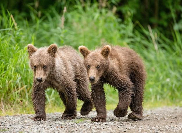Dwa młode niedźwiedzie brunatne idą obok siebie ścieżką