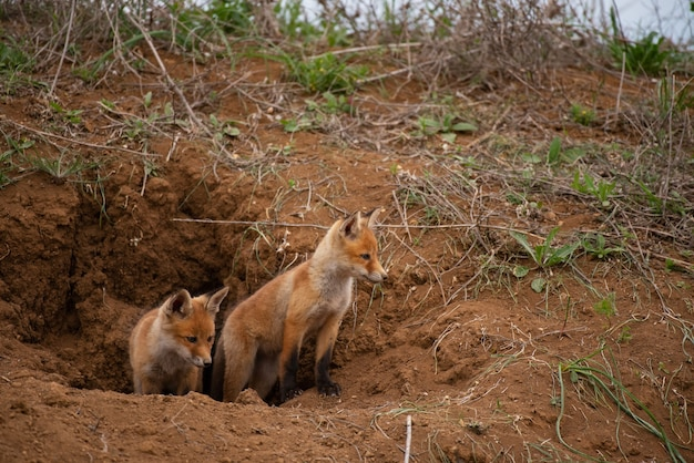 Dwa młode rude lisy w pobliżu jego dziury. vulpes vulpes z bliska.
