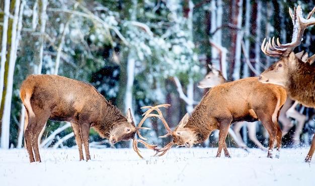 Dwa młode szlachetne jelenie bawią się i walczą rogami w zimie