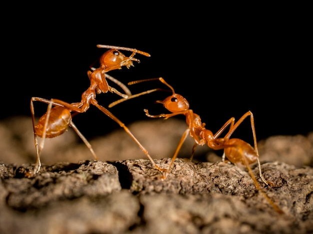 Dwa mrówki insekt na drzewie na zamazanym zmroku