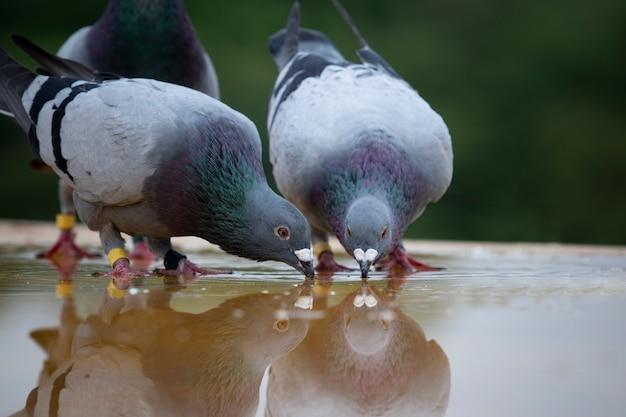 Dwa naprowadzającej gołębiej brid wody pitnej na dachowej podłoga