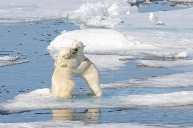 Dwa niedźwiadki polarne bawiące się razem na lodzie