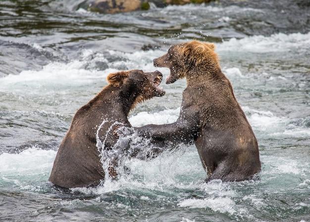 Dwa niedźwiedzie brunatne bawią się ze sobą w wodzie