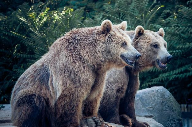 Dwa niedźwiedzie brunatne na przyrodę