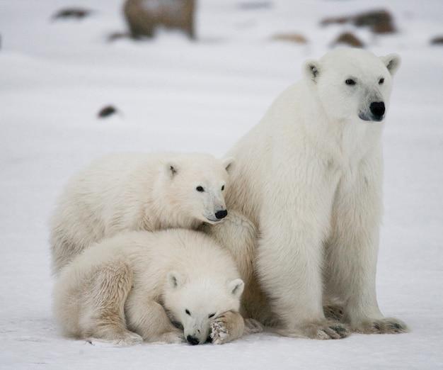 Dwa niedźwiedzie polarne bawiące się ze sobą na śniegu
