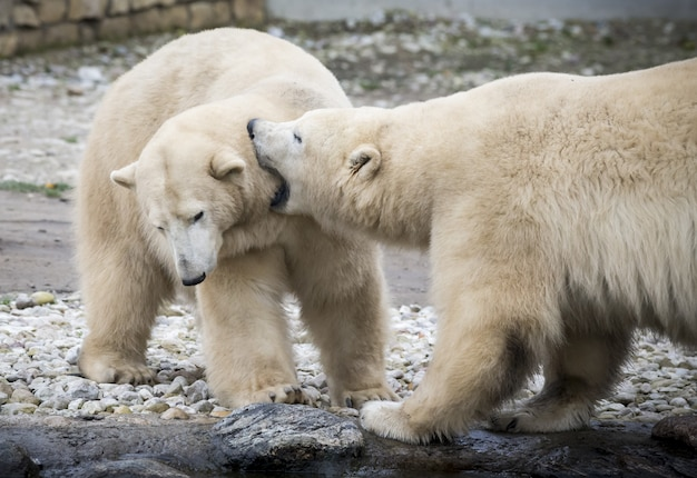 Dwa niedźwiedzie polarne bawiące się ze sobą