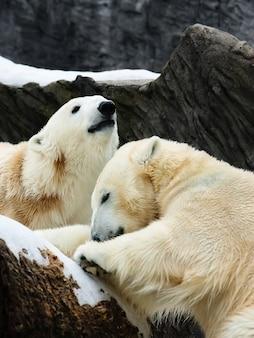 Dwa niedźwiedzie polarne