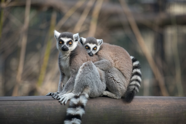 Dwa ogoniaste lemury siedzą przytulone do siebie