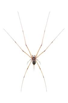 Dwa ogoniasty pająk (hersilia sp.) izolowany. zwierzę. owad.
