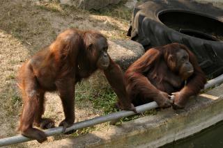 Dwa orangutany