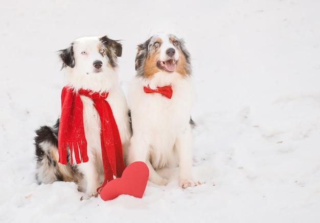 Dwa owczarki australijskie w czerwonej muszce i czerwonym szaliku z pudełkiem w kształcie serca w lesie. cicha sympatia. wysokiej jakości zdjęcie