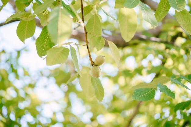 Dwa owoce orzecha włoskiego w zielonej skórce na gałęzi drzewa wśród liści.