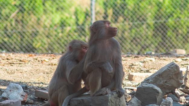 Dwa pawiany małpy w zoo